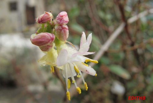 CHEVREFEUILLE LONICERA FRAGRANTISSIMA (3)
