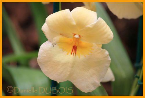 Orchidées Menton 2010 16