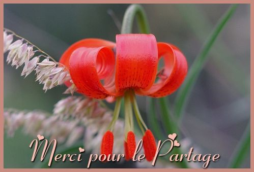 fleur rouge-Merci pour le Partage