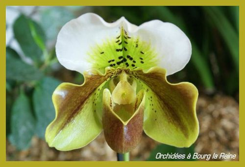 Orchidee-DSC02080--Medium-.JPG