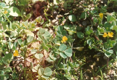 Medicago cf orbicularis