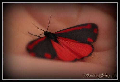 04 avril 2013 Papillon (3)