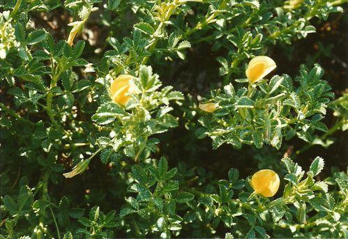 Ononis-variegata.jpg
