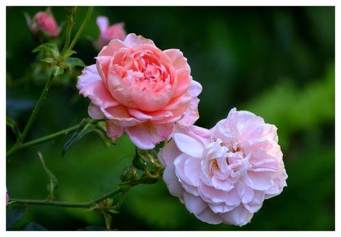 roses14