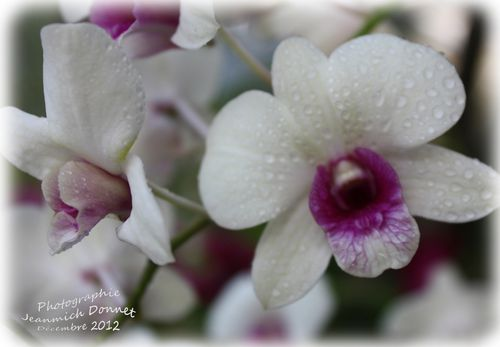 2012_12_13-orchidees_02_modifie-1-copie-1.jpg