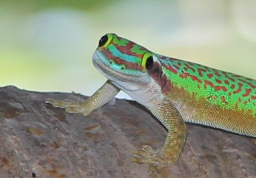 Gecko-de-Manapany 2379