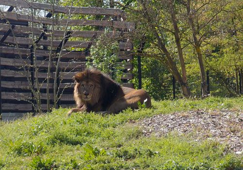 lion-parc-zoologique-vincennes-zoo.JPG