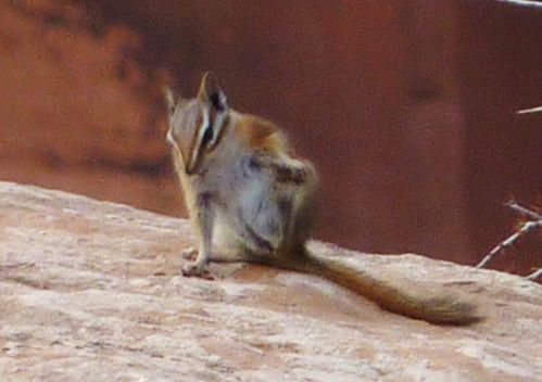 Jour 6 Canyonlands Chipmunk