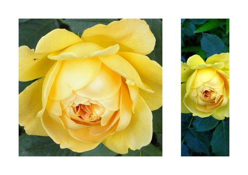 rosier Golden celebration roses jaunes