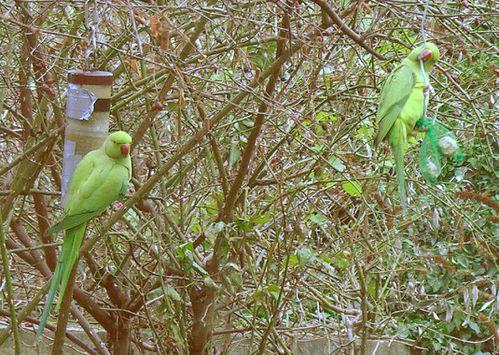 Perruches-a-collier.jpg