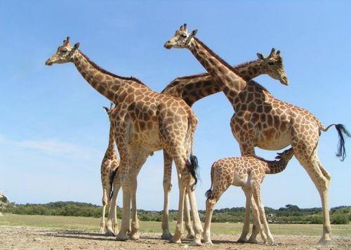 girafes.peralta.03