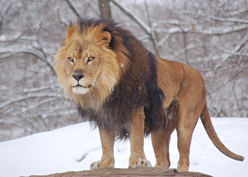 African_Lion_Panthera_leo_Male_Pittsburgh_2800px.jpg