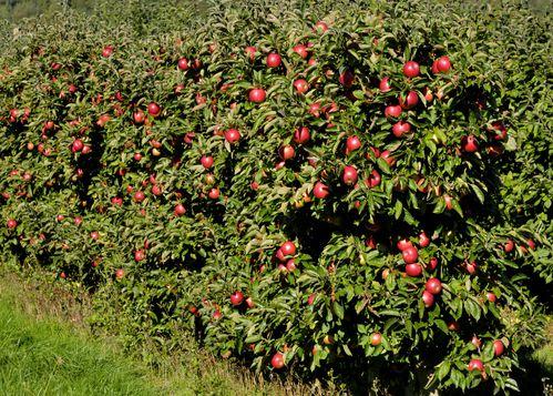 Anneville Les Pommiers et leurs pommes