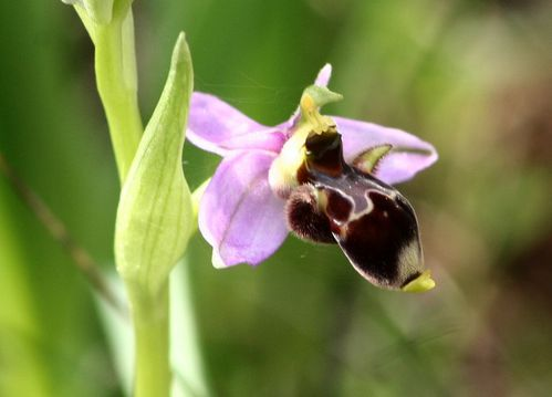 Ophrys Scolopax3p