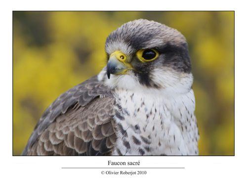 Faucon sacré 3 par Olivier Roberjot