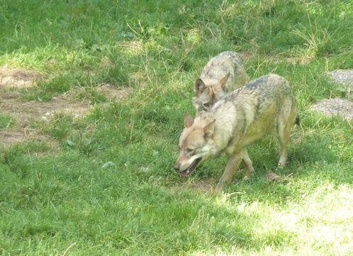 courzieu loups 03