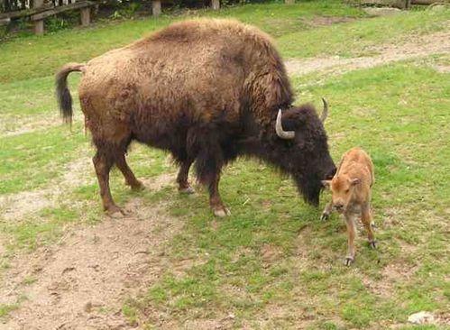 man-et-pet-bisons.jpg