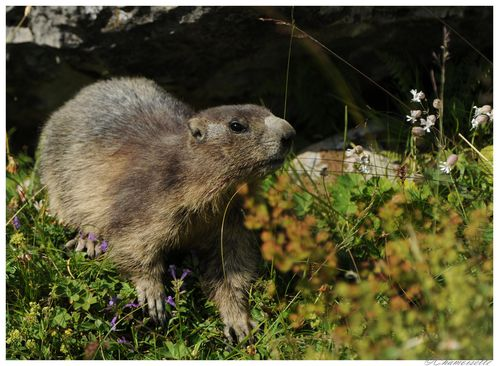 marmottes 1163 8401