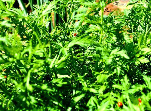 carottes-bio.JPG