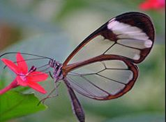 Papillon-transparent-12jpg.jpg