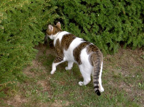 1 CHATS Cannelle chasse (2)