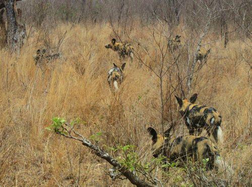 Africa del Su. Sabie Sand. Parque Kruger19