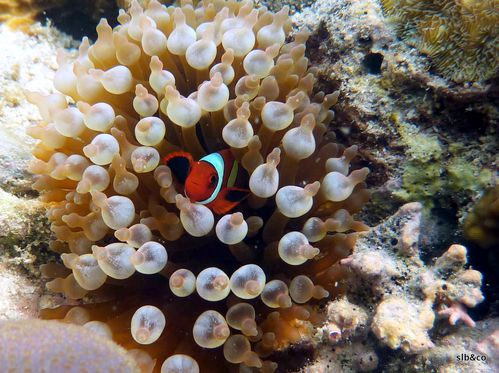 Poisson-clown-Amphiprion frenatus