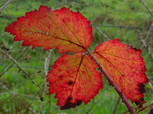 feuilles de ronces