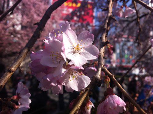 cerisiers_2013-0115.JPG