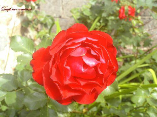 rose e 057