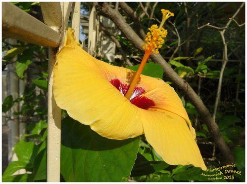Hibiscus_01_modifie-1.jpg