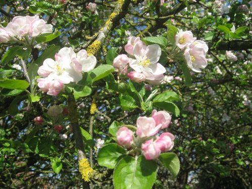 fleurs-du-pommier.JPG