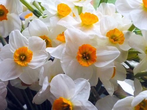 2011-03-31-Narcisses (16)