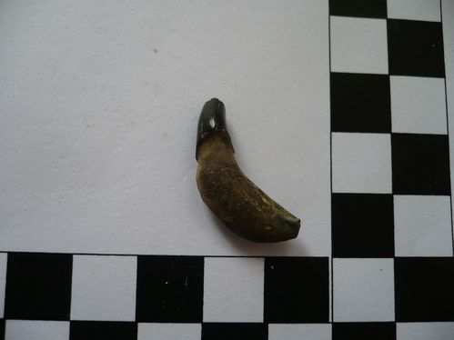 dent de dauphin (Caroline du Nord) 2a