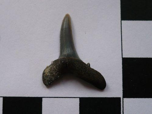 dent de Striatolamia macrota 5