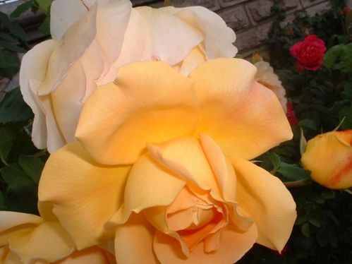 rose-triple-orange-bouton.JPG