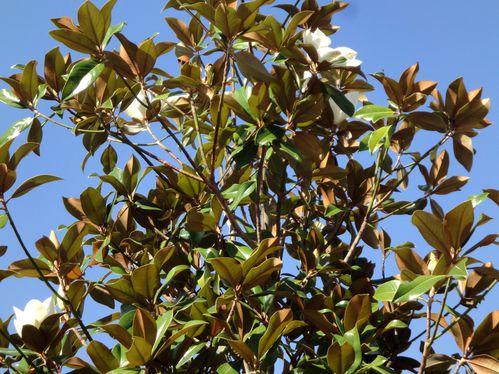 cime magnolia