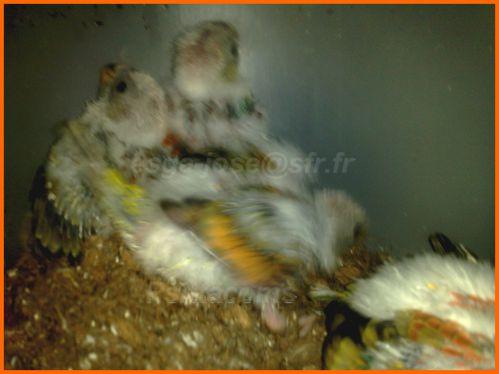 jeunes croupion en opaline rouge porteur orange