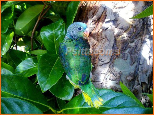 jeune perruche malabar( p11) de 2011