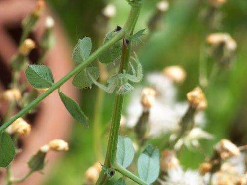 araignée thomise