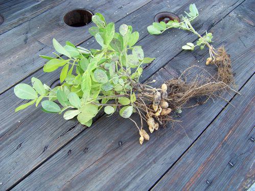 récolte de cacahuètes