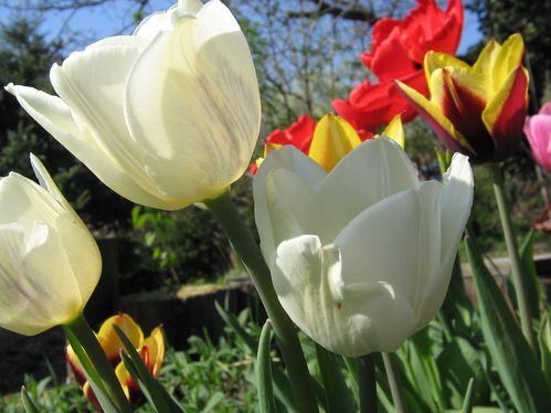 Tulpen 006