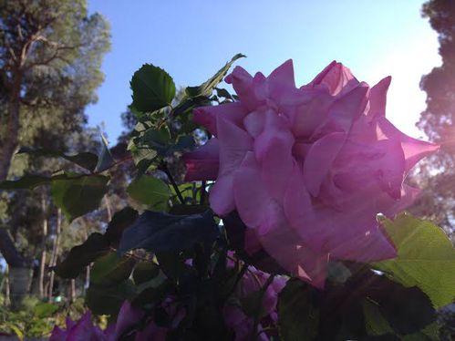 Rose H