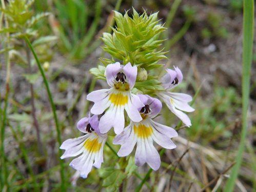 Euphrasia-alpina-Simplon---2-.jpg