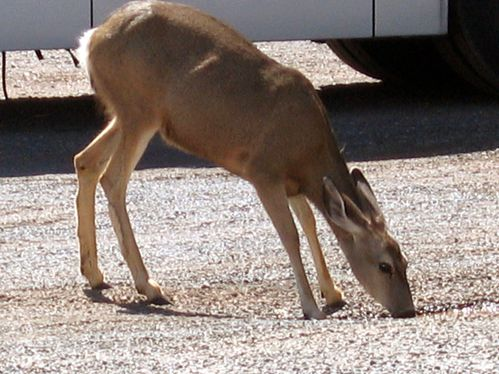 Grand Canyon biche