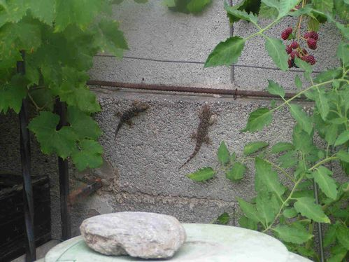 Geckos-juillet-1-5.jpg