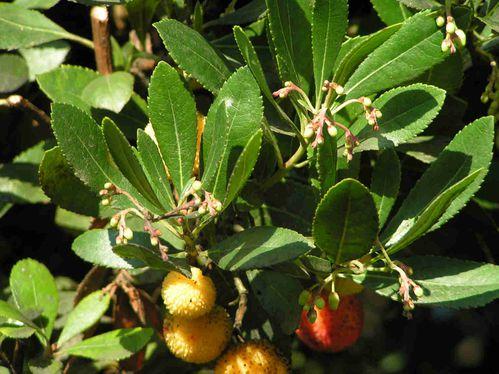 L 39 arbousier le blog de - Fruit de l arbousier ...