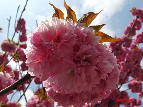 FLEURS ROSES ARBRES (6)
