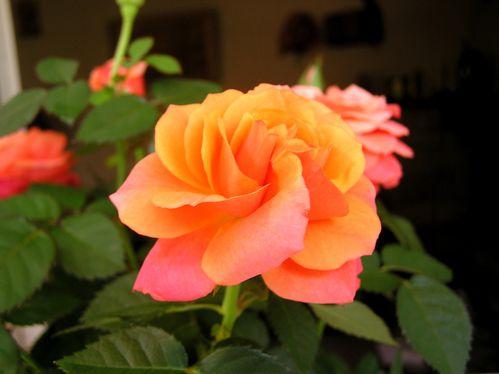 rose--7-.JPG