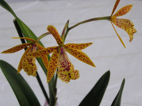 Brassocattleya-Orange.jpg